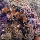 Sunflower sea stars