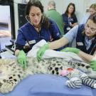 Veterinary staff and student working on a snow leopard at the zoo