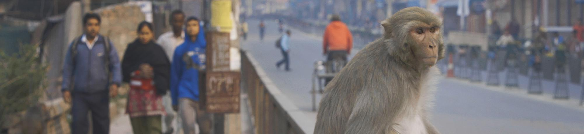 Rhesus macaque in Nepal