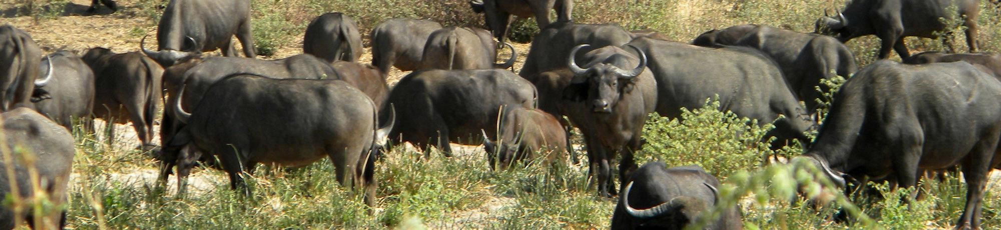 Ruaha water buffalo herd
